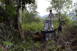oranguatan rescued palm oil plantation