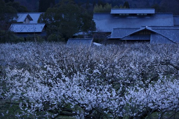 ume-blossom-night-sunai-no-sato-grounds-shiga