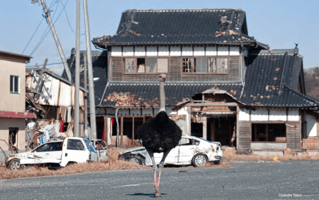 Ostrich roaming the streets after Fukushima disaster in Japan